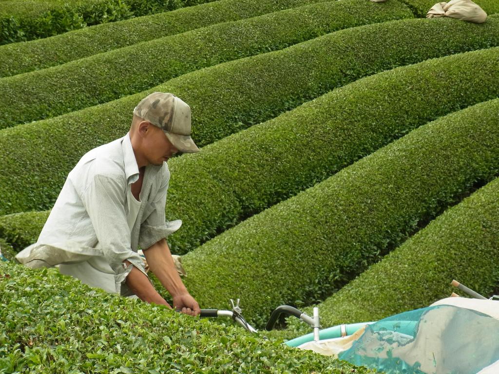 Obubu's president Akky-san harvesting Obubu Tea