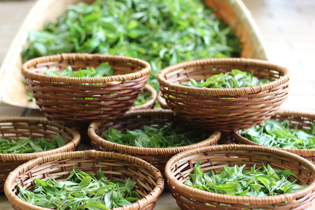 Freshly picked tea leaves left to wither in reed baskets