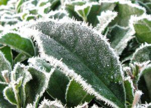 Frost tea leaf