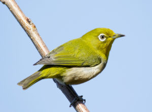 Japanese white-eye at Tennōji Park in Osaka