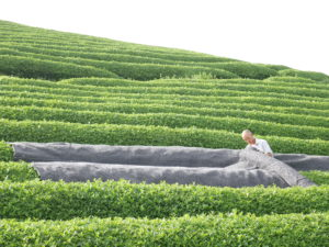 Our president, Akky-san, covering tea bushes