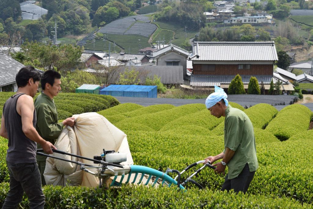 Harvesting on hachijuu-hachiya