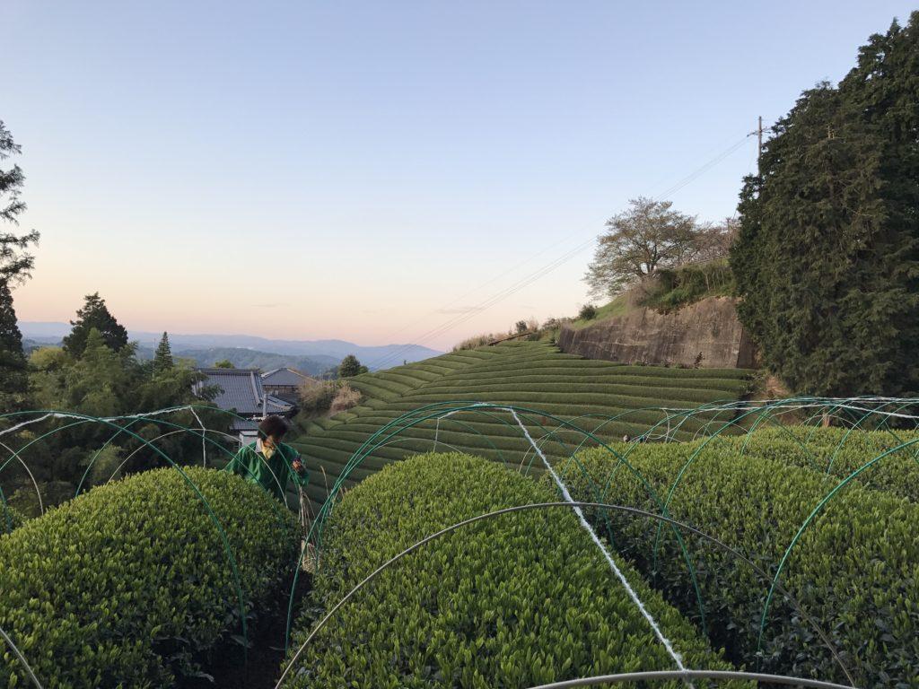 Spring tea fields at dawn