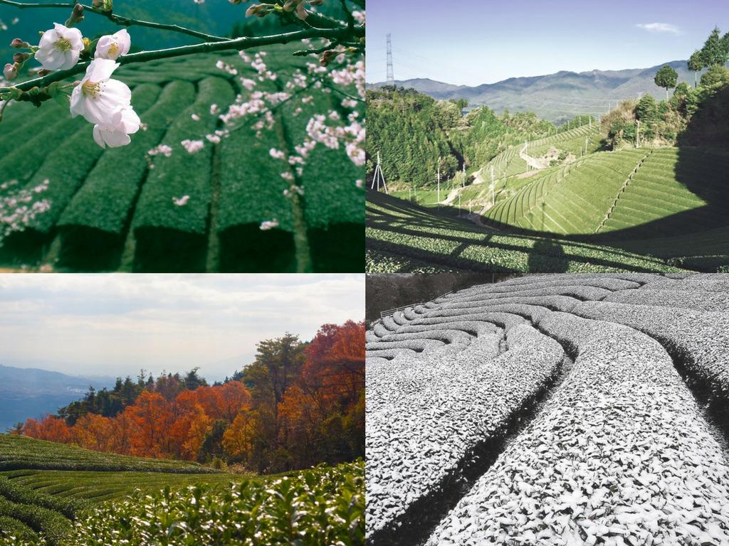 4 seasons of tea