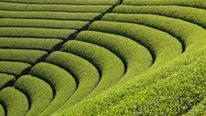 Harayama Tea Field