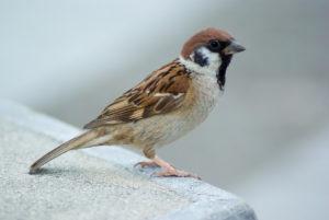 Tree sparrow, Osaka