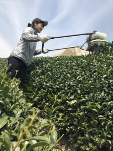 Japanese intern Moe, harvesting bancha in early April