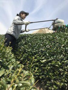 Japanese intern Moe, harvesting bancha in early April